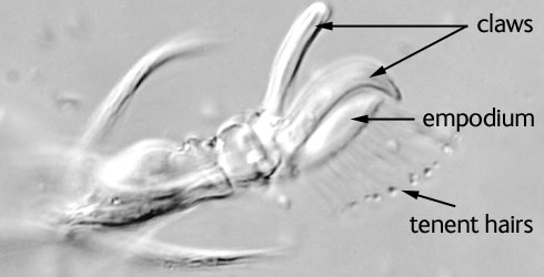 The ambulacrum is the structure at the end of each leg on which the mite walks
