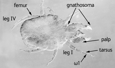 : Cheyletus eruditus is a predatory mite that is used as a bio-control agent to reduce mite infestat