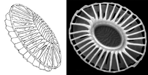 Emiliania huxleyi coccolith diagram and scanning electron microscope image