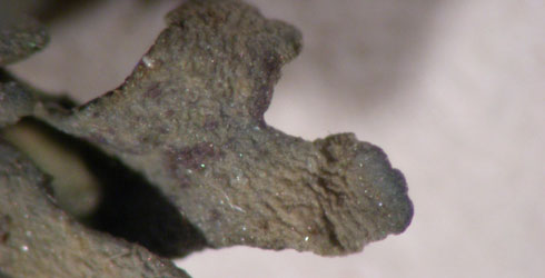 Collema dichotomum - close up of the typical dichotomous branching pattern
