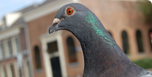 Close up photo of a feral pigeon