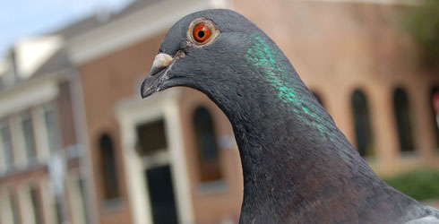 Close up of a feral pigeon