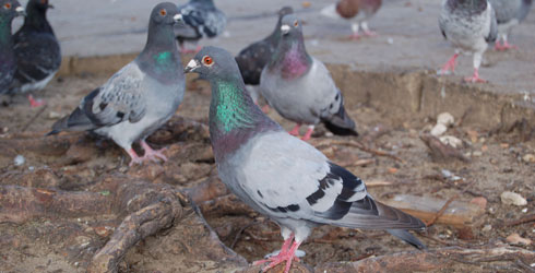 Rock pigeons showing their natural blue colours