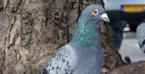 Blue chequered feral pigeon