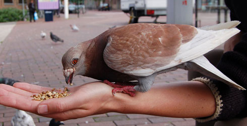 A feral pigeon eating out of a person's hand