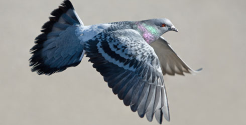 A feral pigeon in mid-flight
