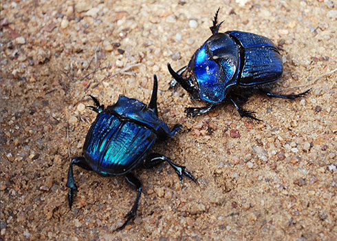 Coprophanaeus lancifer pair