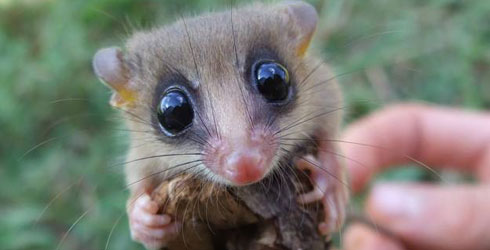 Chaco mouse opossum frontal