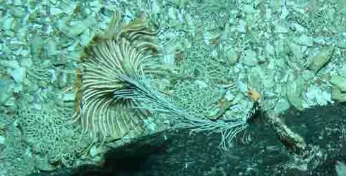 A stalked crinoid on a seamount