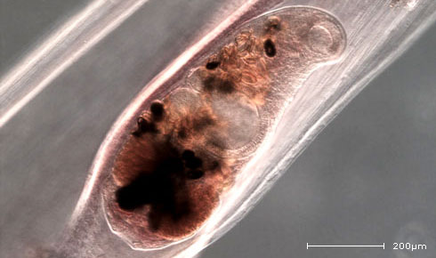 A mature Derogenes varicus in the body cavity of an arrow worm.