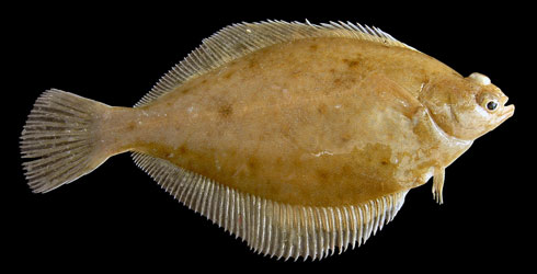 Limanda limanda the common dab one of a wide range of temperate fish species D. varicus infects