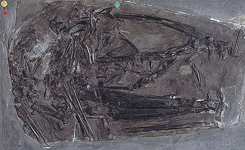 Fossil skull and lower jaw of Dimorphodon