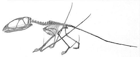 Dimorphodon walking as a quadraped