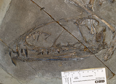 A well-preserved skull of Dimorphodon