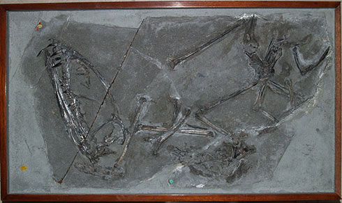Large head and long wing bones of Dimorphodon