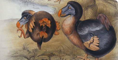 Illustration of the dodo from Memoirs on the dodo by Sir Richard Owen, 1866
