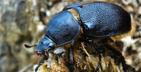 A female Neptune beetle.