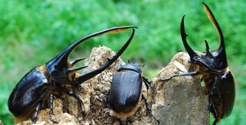 two males of different sizes and a female Neptune beetle