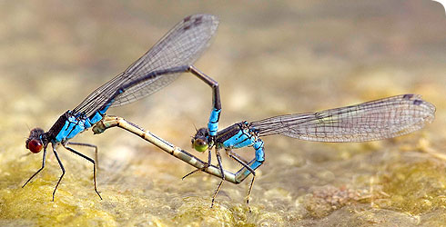 Erythromma viridulum (small red-eyed damselfly) maleand female