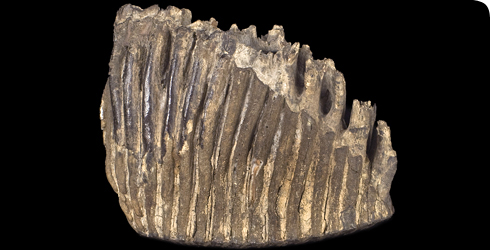 A large Elephas antiquus tooth from Barnstaple, Devon
