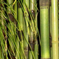 Equisetum myriochaetum the giant horsetail