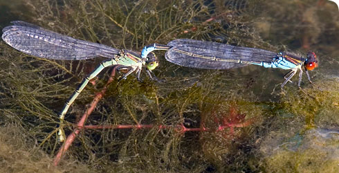 Female laying eggs into the stem of hornwort with the male guarding