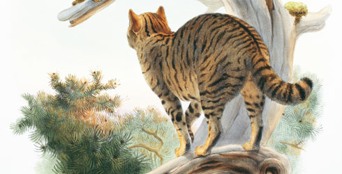 Felis silvestris grampia illustration