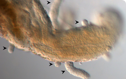 Developing worms (arrowheads) attached to gut of bryozoan host.