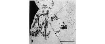 Daidal acanthocercus fossil showing tailfan details