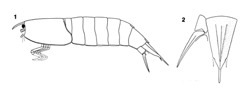 Diagram of the anatomy of the proto-mantis shrimp Bairdops beargulchensis