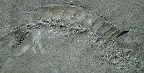 Daidal acanthocercus fossil