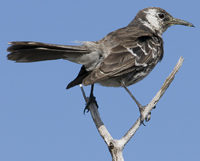 A Floreana mockingbird perching on a branch