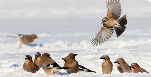 A group of jays in the snow
