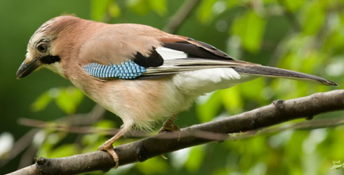 Eurasian jay perching on a branch