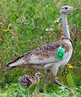 Female great bustard and chick