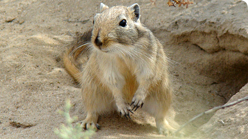 The great gerbil, Rhombomys opimus