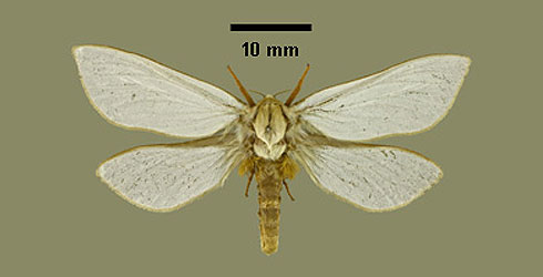 Upper side of the Hepialus humuli male