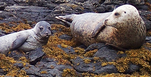 Grey seals and pup on the Isle of Skye