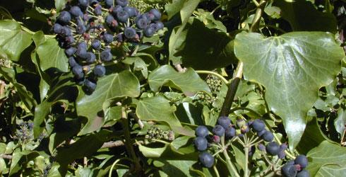 Hedera helix  ivy Hedera Helix Berries