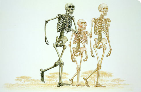 Comparison of Hominid skeletons