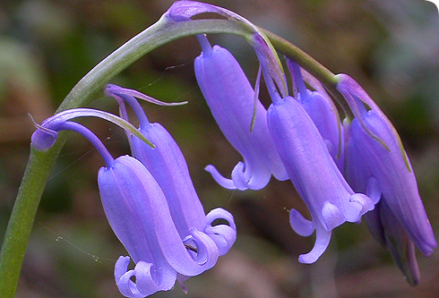 http://www.nhm.ac.uk/resources-rx/images/1049/hyacinthoides-non-scripta-01_56903_1.jpg