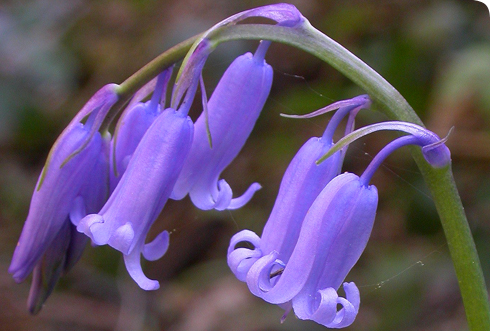 Hyacinthoides non scripta in north-west Spain.