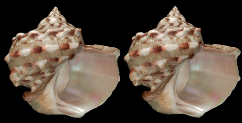 Turbo marmoratus shells with their iridescent interior showing