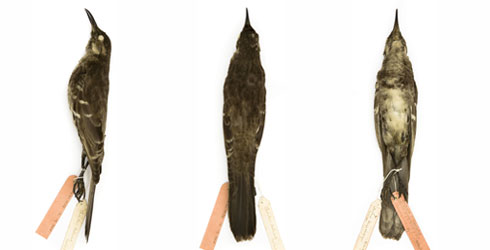 Floreana mockingbirds specimen