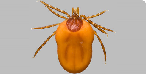 Ixodes ricinus female in dorsal view