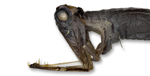 Specimen of Malacosteus niger showing a partial extension of the lower jaw