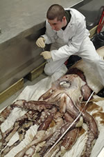 Museum scientist, Jonathan Ablett, injecting a giant squid specimen with a formol-saline solution