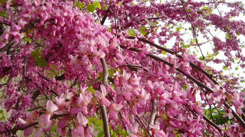 A Judas tree in bloom