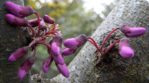 Blossom of the Judas tree, Cercis siliquastrum, growing directly from the trunk