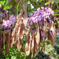 Flowers and seedpods of the Judas tree